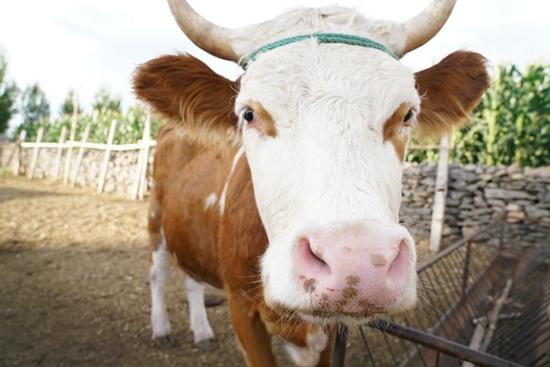 牛羊满圈跑生活奔小康